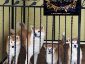 Royal Fuzzypants Akita Inu Veislynas - nuotraukos Nr. 3