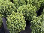 Dekoratyviniai augalai auginti Lietuvoje - nuotraukos Nr. 2