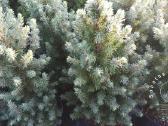 Dekoratyviniai augalai auginti Lietuvoje - nuotraukos Nr. 4