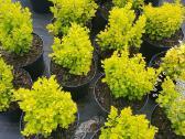 Dekoratyviniai augalai auginti Lietuvoje - nuotraukos Nr. 3