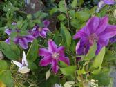 Dekoratyviniai augalai, vaismedžiai, vaiskrūmiai. - nuotraukos Nr. 4